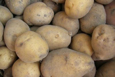 정부는 GMO감자 수입승인절차 즉각 중단하라!